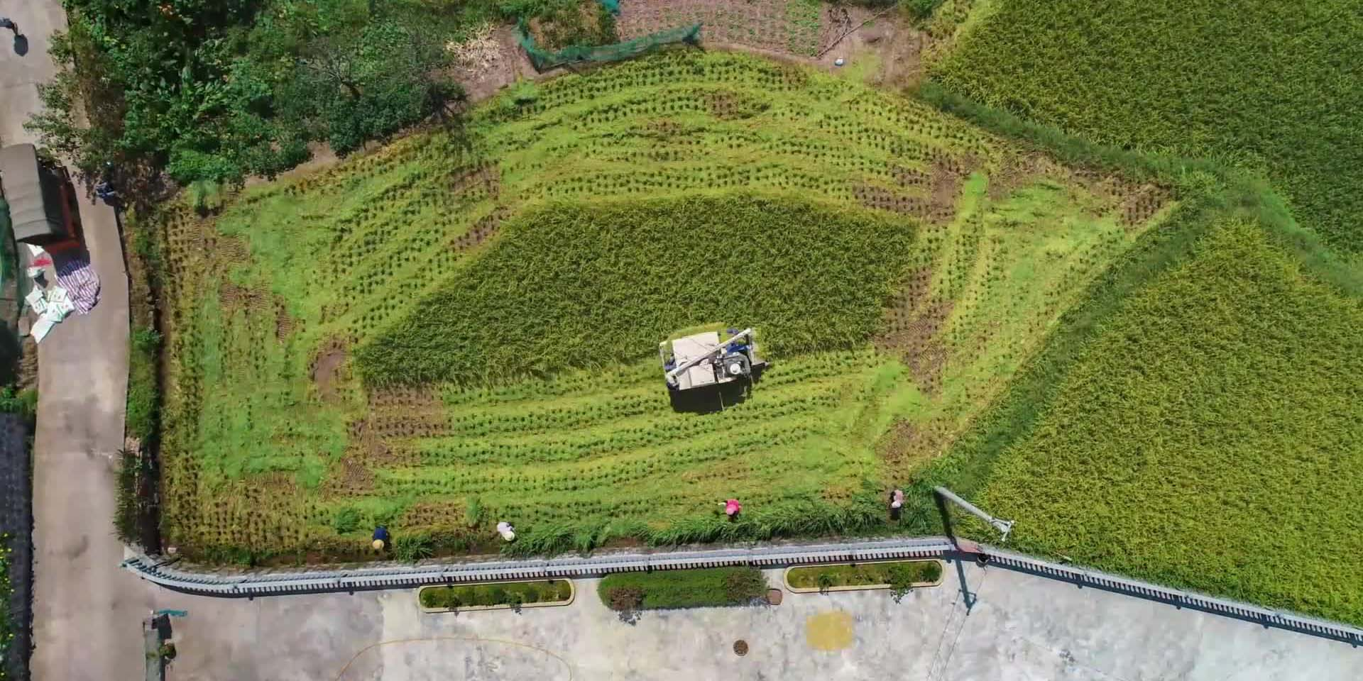 Arroz colhido por maquinário em Hunan, China