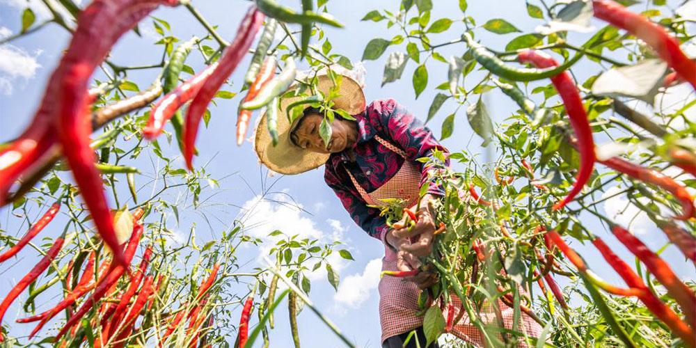 Agricultores colhem pimentas chili em Guizhou