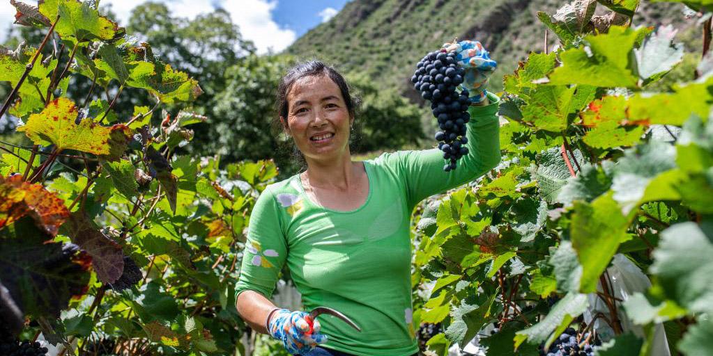 Indústria de uva impulsiona economia local de Deqin, na Província de Yunnan