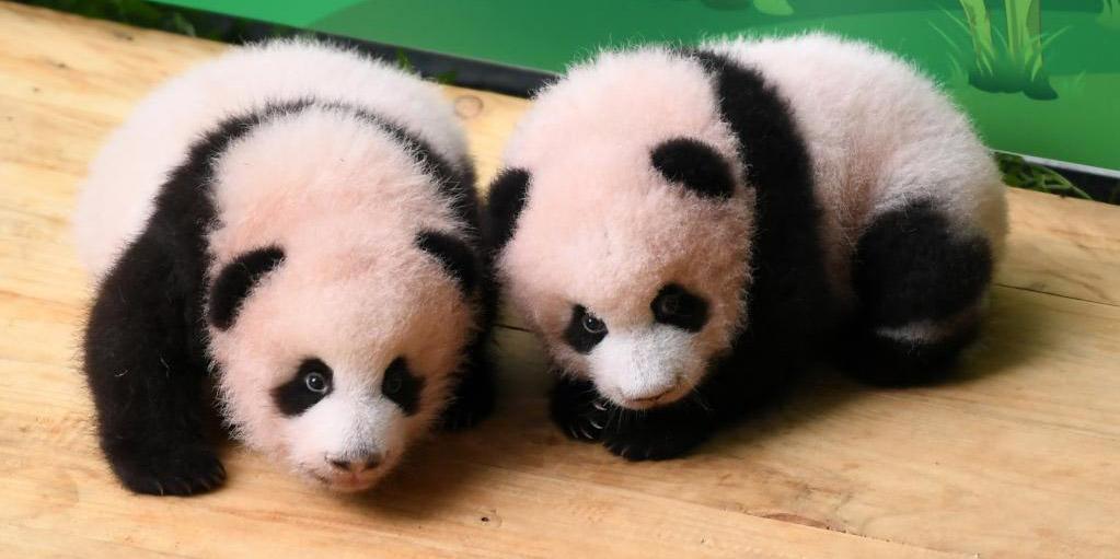 Zoológico de Chongqing apresenta filhotes gêmeos de panda-gigante ao público