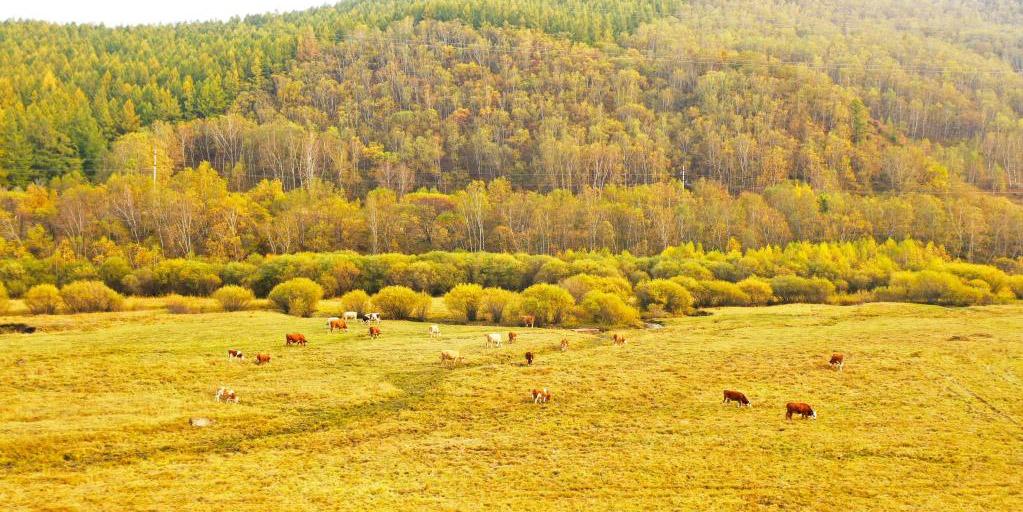 Vista aérea da Fazenda Florestal de Saihanba em Hebei