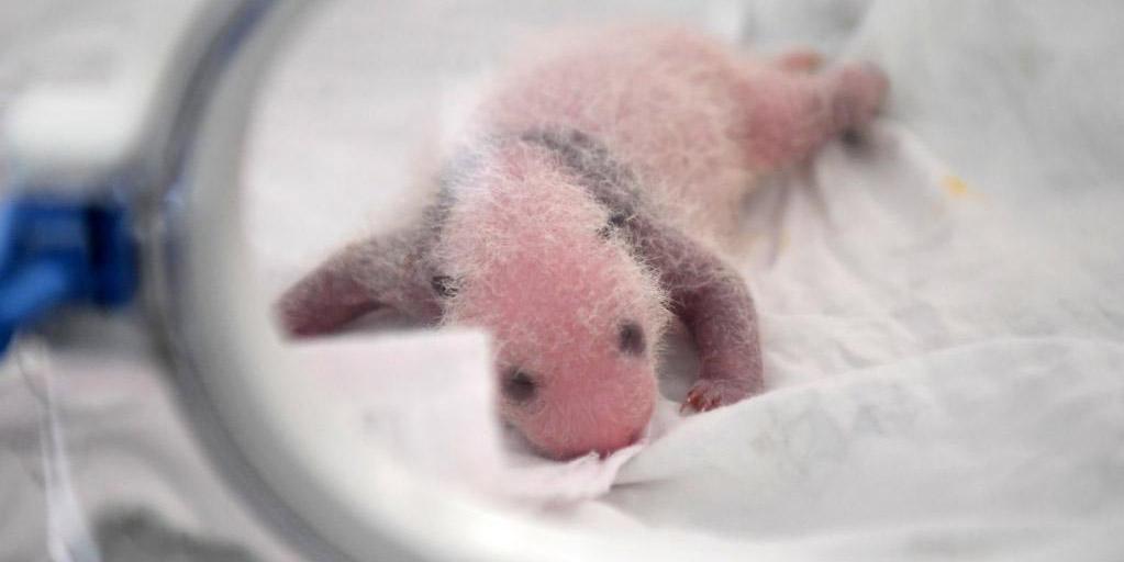 Filhotes gêmeos de panda-gigante nascem em Chongqing