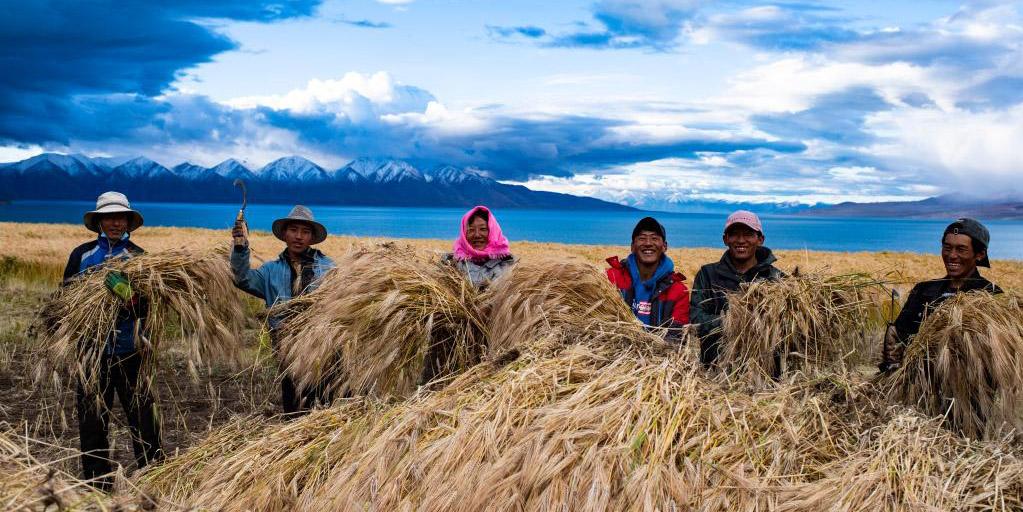 Aldeões colhem cevada tibetana na Vila de Ombu, no Tibet