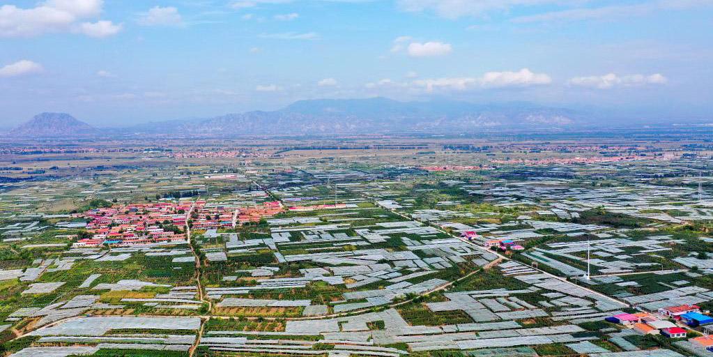 Começa a época de colheita das uvas no Distrito de Zhuolu, Província de Hebei