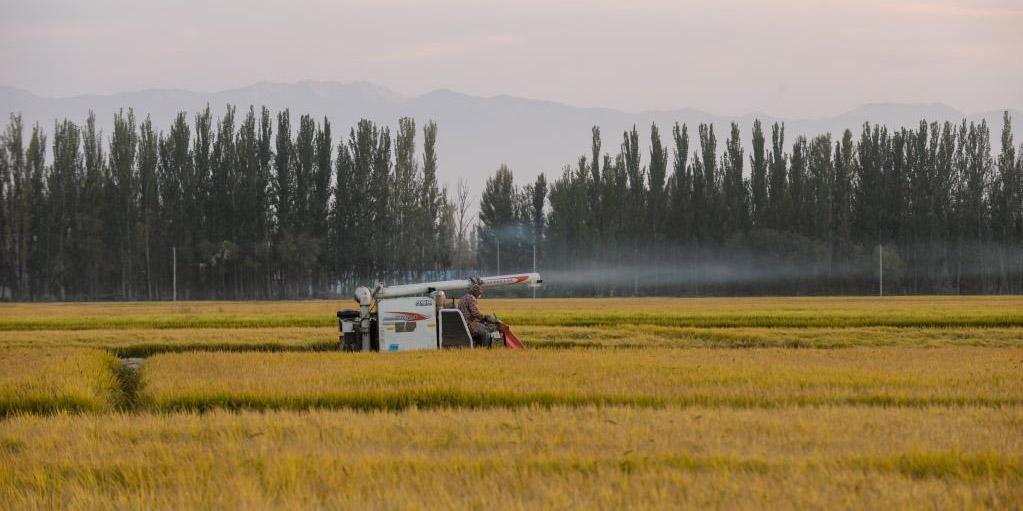 Agricultores colhem arroz em Xinjiang
